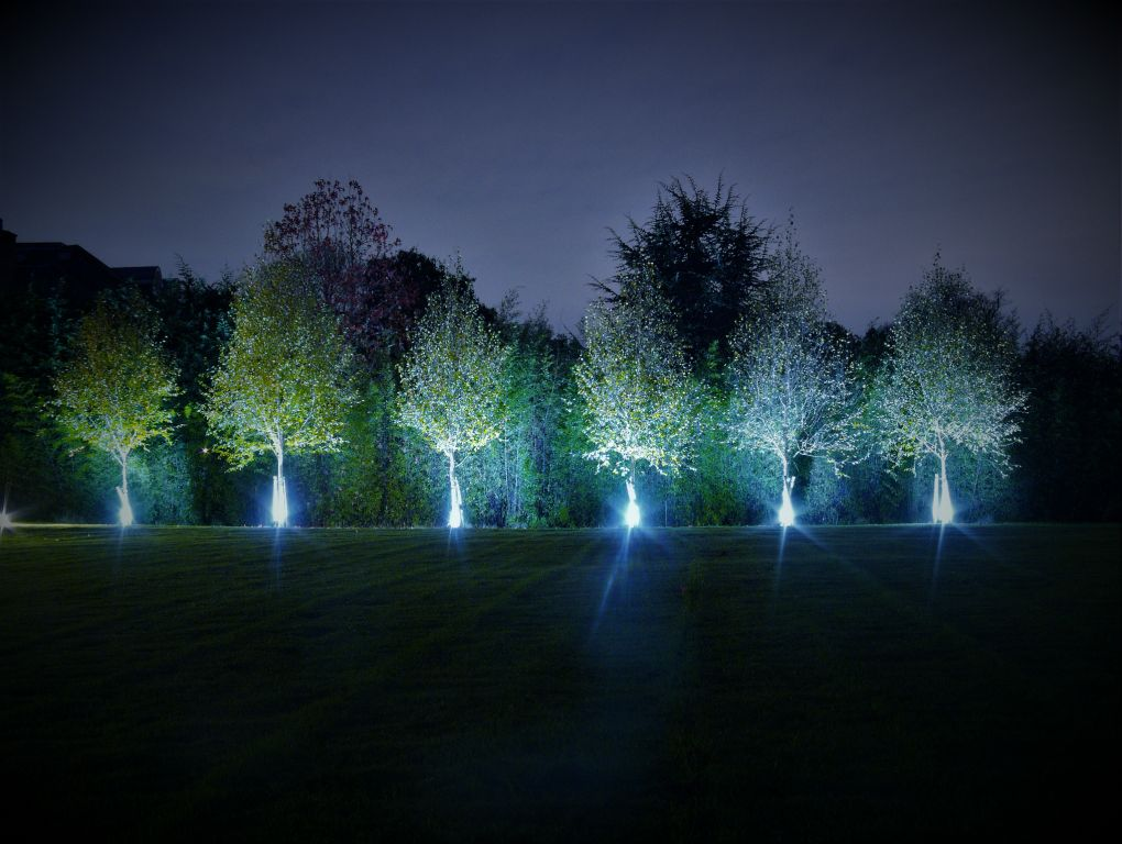 Row of uplit Silver Birches